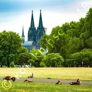 Gänse im Rheinpark
