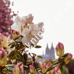 Kirschblüte im Kölner Rheinpark
